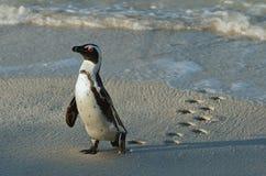 Gehender afrikanischer Pinguin (Spheniscus demersus) mit Abdruck auf dem nassen Sand Lizenzfreie Stockfotos