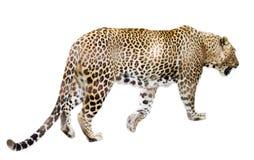 Gehender erwachsener Leopard Lizenzfreie Stockfotografie