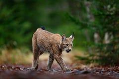 Gehender eurasischer Luchs im grünen Wald Lizenzfreies Stockbild