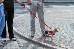 Gehender gekleideter Hund Der Eigentümer kleidete den Hund lizenzfreies stockbild