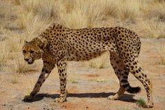 Gehender Gepard Stockfoto