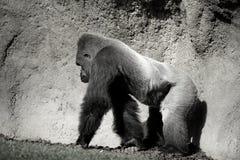 Gehender Gorilla, in Schwarzweiss Stockbild