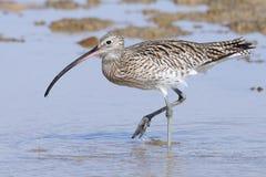 Gehender großer Brachvogel am Sharm el-Sheikh-Strand von Rotem Meer Lizenzfreie Stockfotos