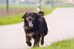 Gehender Hund Stockfotografie