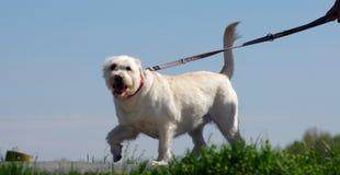 Gehender Hund in der Stadt stockfotografie