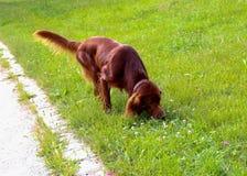 Gehender Irischer Setter im Sommerpark Lizenzfreie Stockfotos