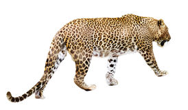 Gehender Leopard über Weiß Stockbilder