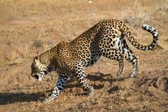 Gehender Leopard Stockfotografie