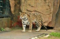 Gehender Leopard Lizenzfreie Stockbilder