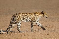 Gehender Leopard - Kalahari-Wüste stockfotografie