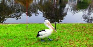 gehender Pelikan Stockbilder