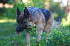 Gehender schöner junger Schäferhund Dog Close Up Browns lizenzfreies stockfoto