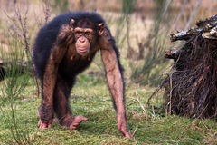 Gehender Schimpanse Stockbild
