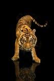 Gehender schwarzer Hintergrund des Tigers Stockfotografie
