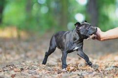 Gehender Staffordshire-Bullterrierhund mit Stock stockfoto