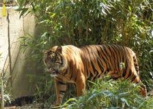 Gehender Tiger Stockfotografie