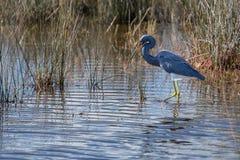 Gehender Tricolored-Reiher die Sumpfgebiete Lizenzfreie Stockfotos