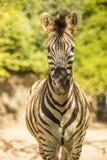 Gehender Zebra Lizenzfreies Stockfoto