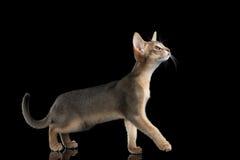 Gehendes abyssinisches Kätzchen lokalisiert auf schwarzem Hintergrund, Seitenansicht Lizenzfreies Stockbild