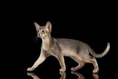 Gehendes abyssinisches Kätzchen lokalisiert auf schwarzem Hintergrund, Seitenansicht Stockfotografie