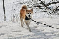 Gehendes Akita der Hund Stockfotografie