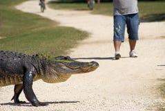 Gehendes amerikanisches Krokodil Stockbilder