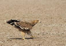 Gehendes Kaiser-Eagle von Gujarat, Indien Stockbilder