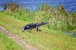 Gehendes Krokodil stockfoto