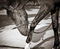 Gehendes Pferd Stockbild