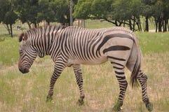 Gehendes Zebra lizenzfreie stockbilder