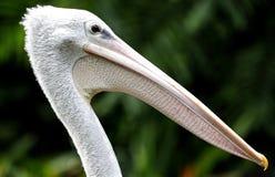 Gehijgde Ooievaar in Kuala Lumpur Bird Park Stock Afbeeldingen