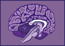 Gehirn halb Lizenzfreies Stockbild