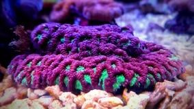 Gehirn LANGSPIELPLATTEN Koralle, Favites im Salzwasserriff-Aquariumbehälter Stockfoto