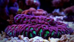 Gehirn LANGSPIELPLATTEN Koralle, Favites im Salzwasserriff-Aquariumbehälter Stockbild