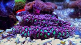 Gehirn LANGSPIELPLATTEN Koralle, Favites im Salzwasserriff-Aquariumbehälter Stockfotografie