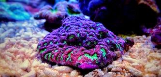 Gehirn LANGSPIELPLATTEN Koralle, Favites im Salzwasserriff-Aquariumbehälter Lizenzfreie Stockfotos