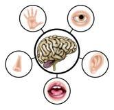 Gehirn mit fünf Richtungen Stockfotos