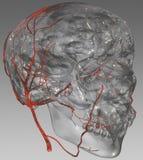 Gehirn und Arterie Stockfoto