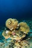 Gehirnkoralle innerhalb des korallenroten Gartens stockfoto