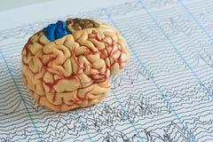 Gehirnmodell auf EEG bewegt Papier wellenartig Lizenzfreie Stockfotografie