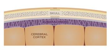 Gehirnschicht/menschliches Organ und Anatomiekonzept stock abbildung