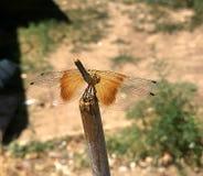 Gehockte Libelle stockfotografie