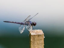 Gehockte Libelle Stockbilder
