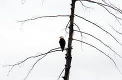 Gehockter Adler Stockfotografie