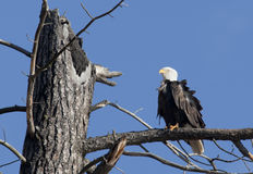 Gehockter Adler an einem windigen Tag. Stockbilder