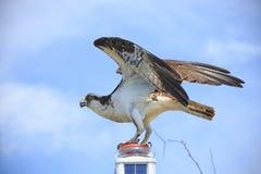 Gehockter Fischadler Lizenzfreies Stockbild