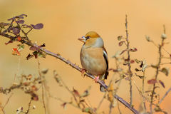 Gehockter Hawfinch - Coccothraustes Coccothraustes Stockfoto