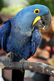Gehockter Hyazinthe Macaw stockbilder