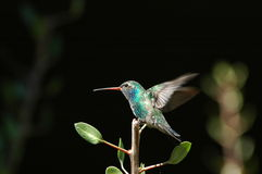 Gehockter Kolibri Stockfoto