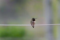 Gehockter Kolibri Stockbild